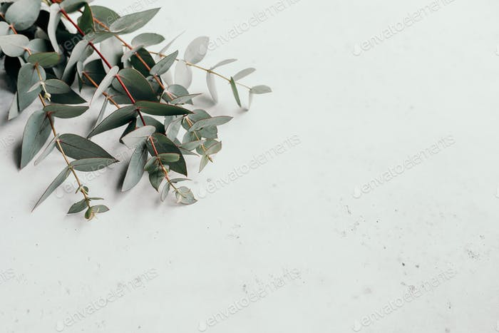 Eucalyptus branches on a white background with copy space.