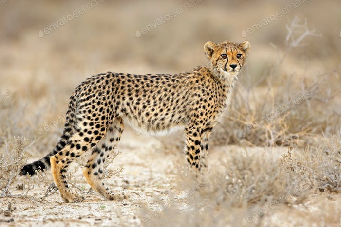 Cheetah in natural habitat