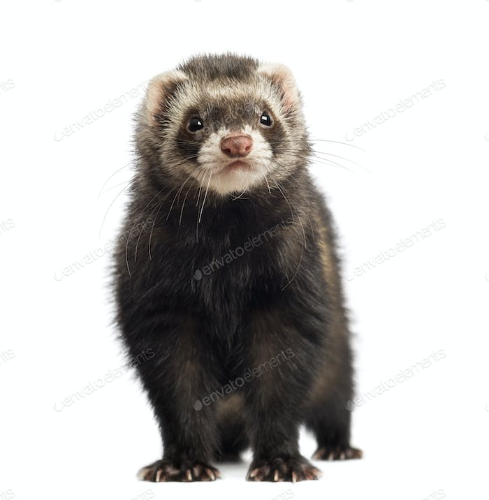 Ferret, 9 months old, looking at the camera in front of white background