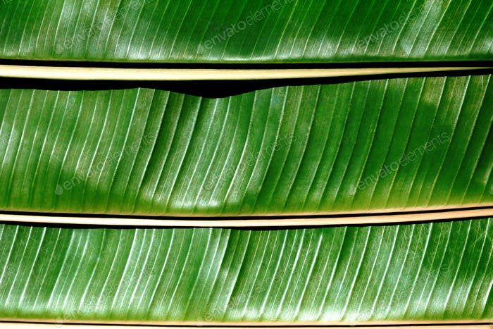 Close up of Banana leafs