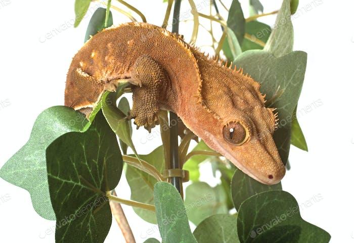 Crested gecko in studio