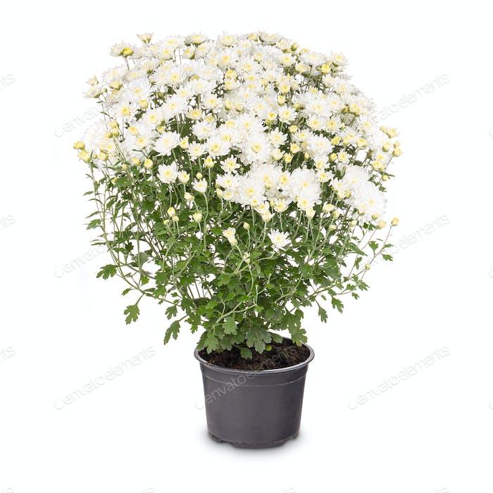 Blühende weiße Chrysantheme