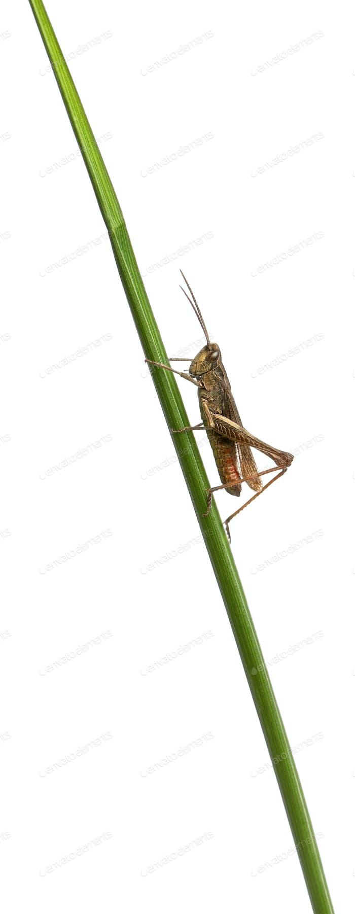 Grasshopper, Chorthippus montanus, on plant stem in front of white background