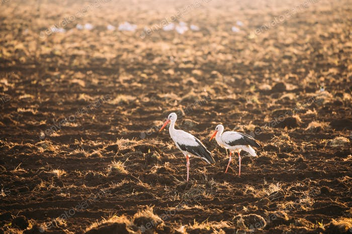 Two Adult European White Storks Standing In Field In Belarus. Wi