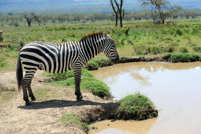 Zebra near the water in Africa
