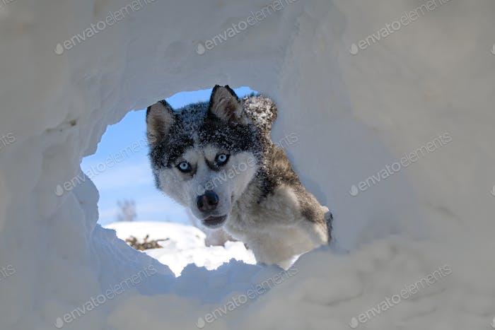 husky dog breed peeks