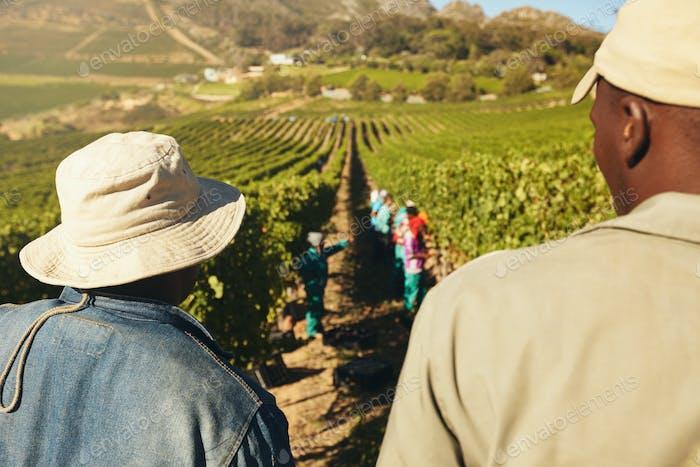 Workers harvesting grapes in vineyard