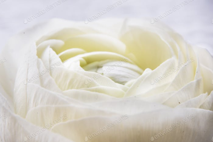Closeup White Rose Flower Nature Refreshment