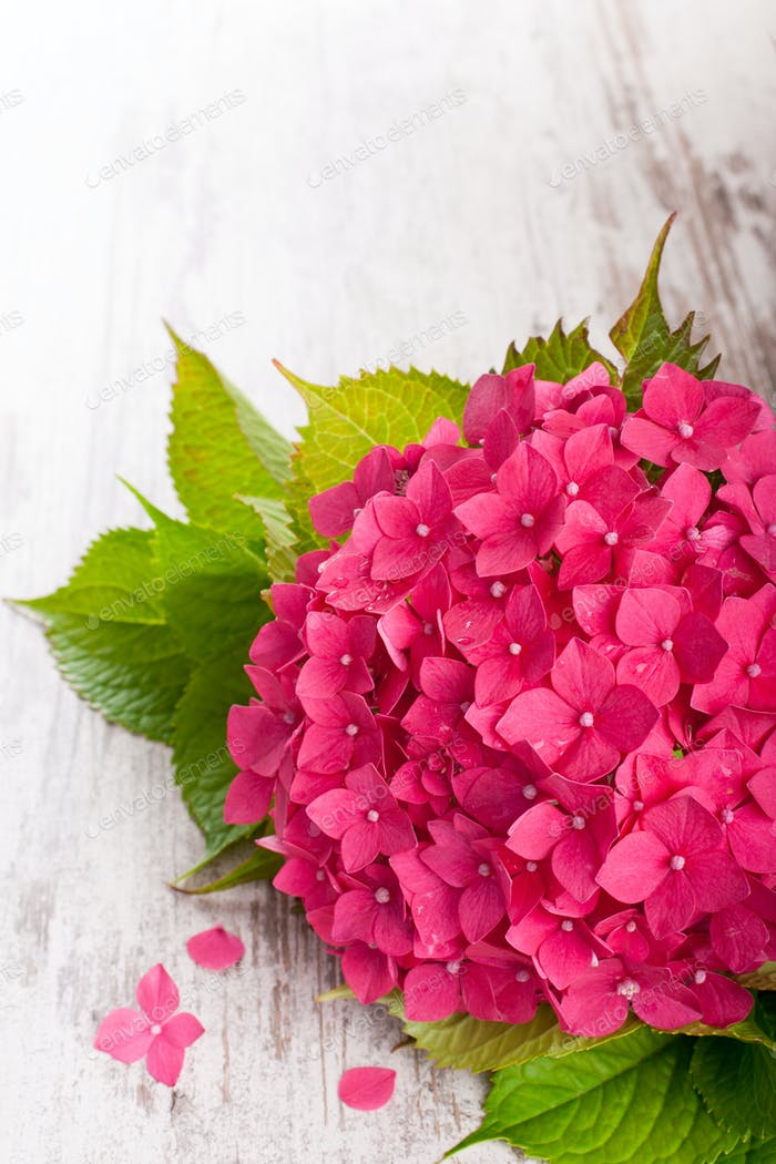 Beautiful Pink Hydrangea Flowers