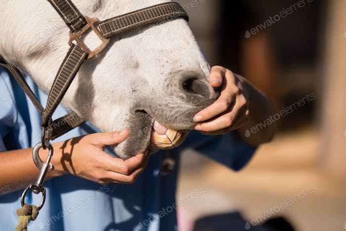 Midsection of female vet examining horse mouth