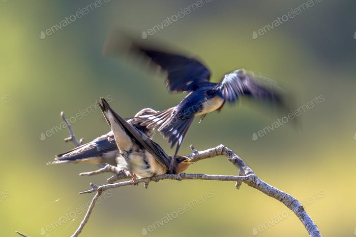 Flying Barn swallow feeding juveniles
