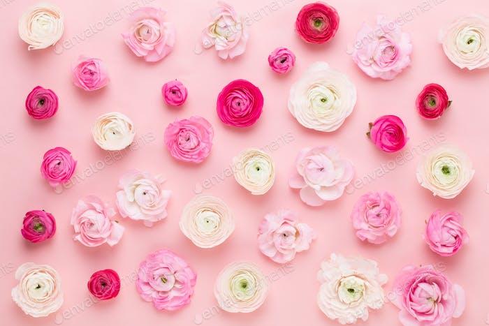 Schöne farbige Ranunkeln Blumen auf einem rosa Hintergrund.