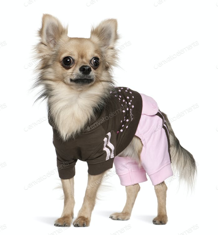 Dressed Chihuahua, 1 year old, standing in front of white background