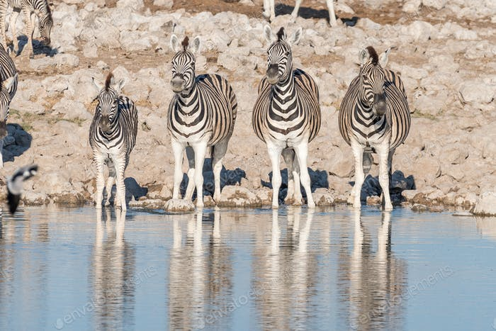 Four Burchells zebras at a waterhole in Northern Namibia