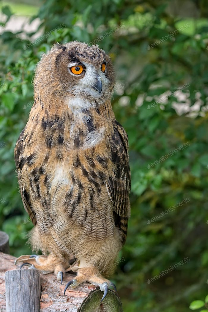 Eagle-owl in the forest