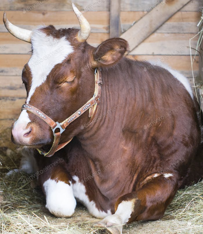 Cow laying down in straw and sleep