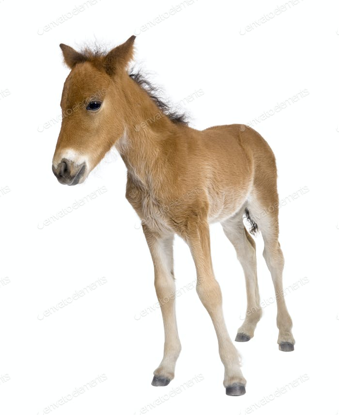 Portrait of foal, 4 weeks old, standing in front of white background, studio shot