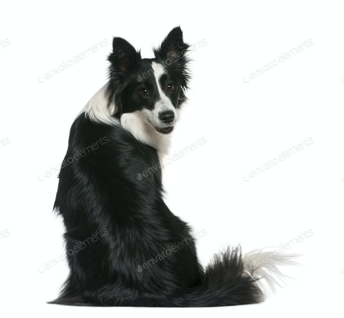 Border Collie, 16 months old, sitting in front of white background