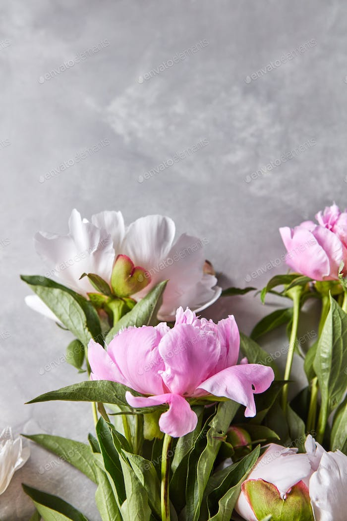 Flowers of pink peonies with green leaves and buds on a gray concrete background with copy space