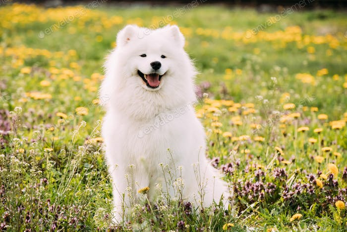 Young Happy Smiling White Samoyed Dog Or Bjelkier, Smiley, Sammy