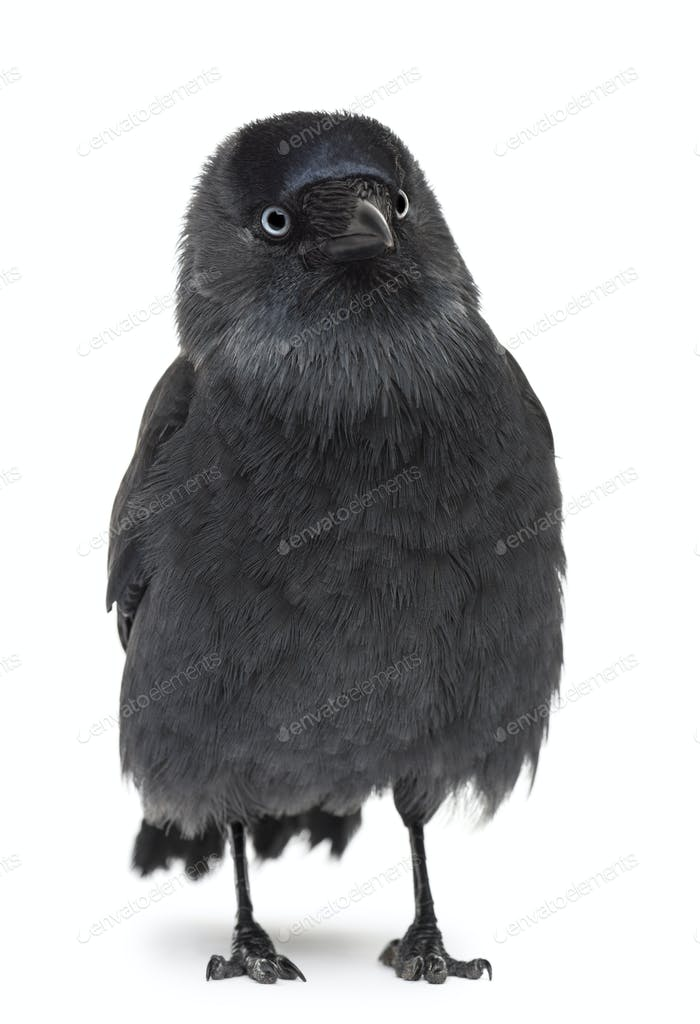 Western Jackdaw looking away, Corvus monedula, (or Eurasian, or European or simply)