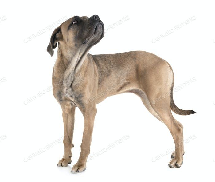young cane corso