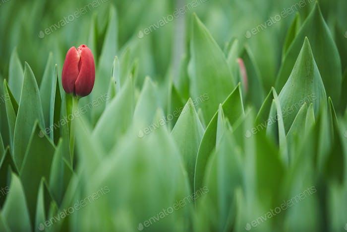 Rote Tulpe im Garten