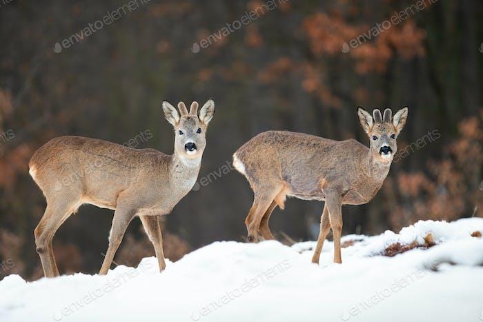 Two wild roe deer bucks watching in winter nature standing on snow