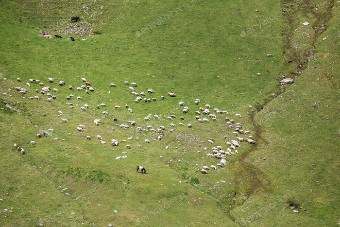 Aerial View Of Flock Of Sheeps In Mountains Of Georgia. Summer G