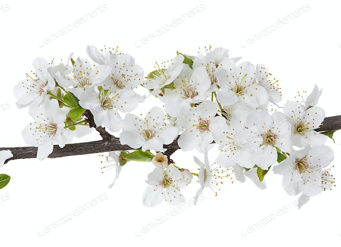 Apple flowers branch isolated on a white background.