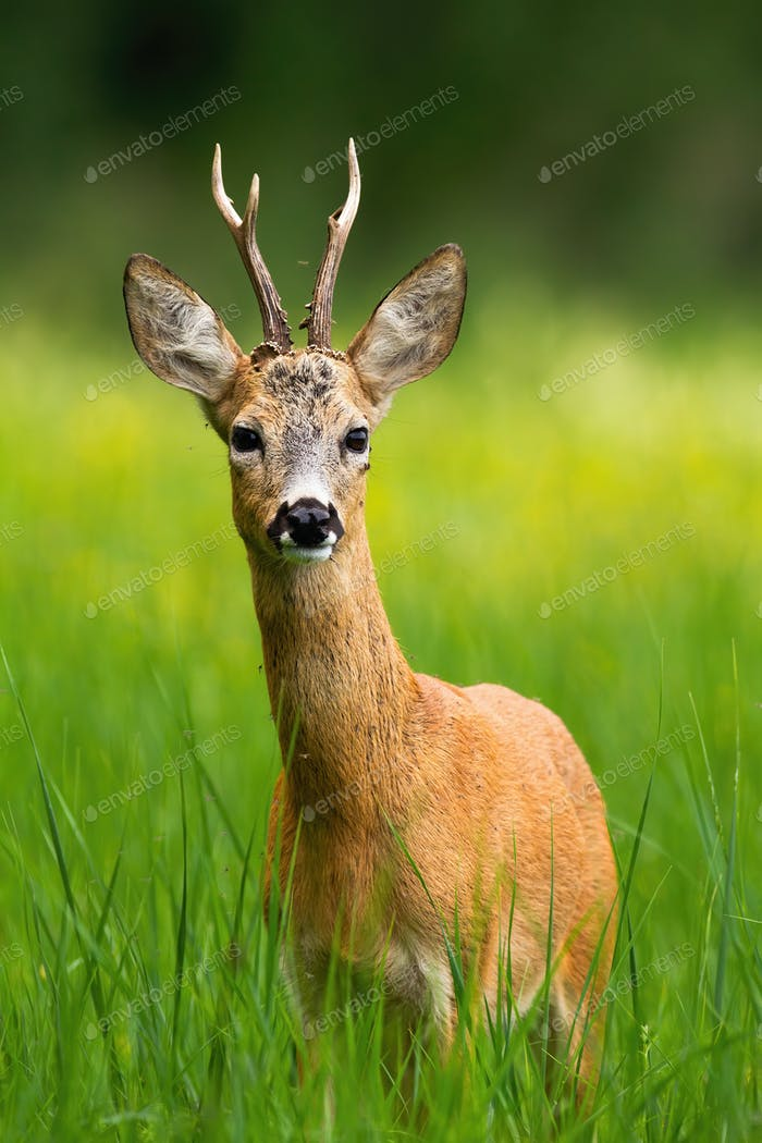 Curious roe deer buck staring on green hay field in summer with selective focus