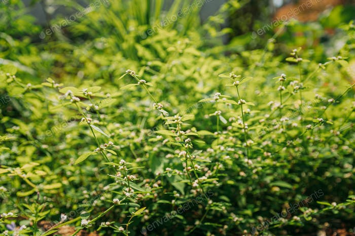 Goa, India. Flower Of Cymbopogon, Also Known As Lemongrass Or Barbed Wire Grass In Sunny Light