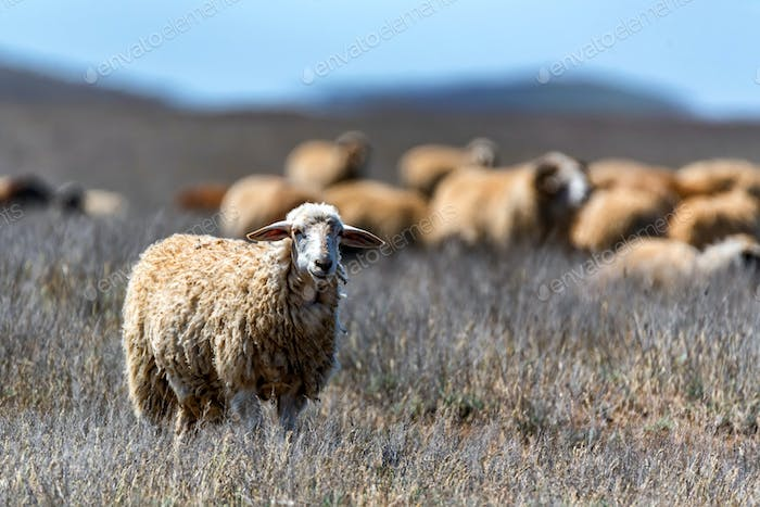 Flock of sheep graze in steppe