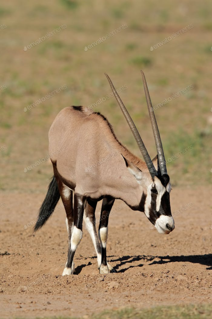 Thumbnail for Gemsbok antelope