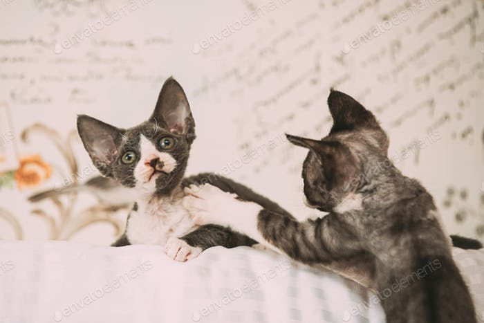Funny Curious Young Gray Devon Rex Kitten Playing Together At Home Sofa. Short-haired Cat Of English
