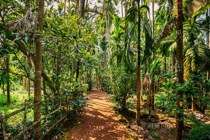 Goa, India. View Of Road Lane Path Way Surrounded By Tropical Green Vegetation And Bamboo Trees In