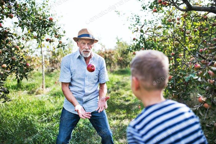A senior man with grandson playing with apple in orchard in autumn.