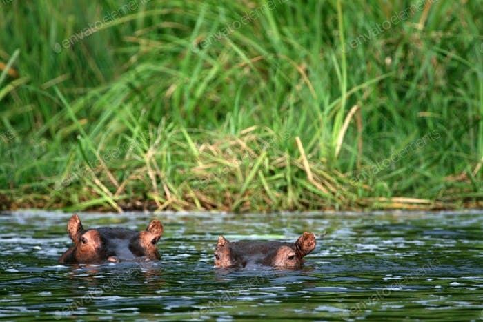 Hippo - Murchison Falls NP, Uganda, Africa