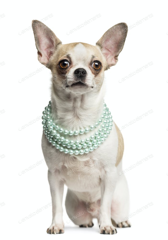 Chihuahua (2 years old) sitting and wearing a pearl necklace, isolated on white