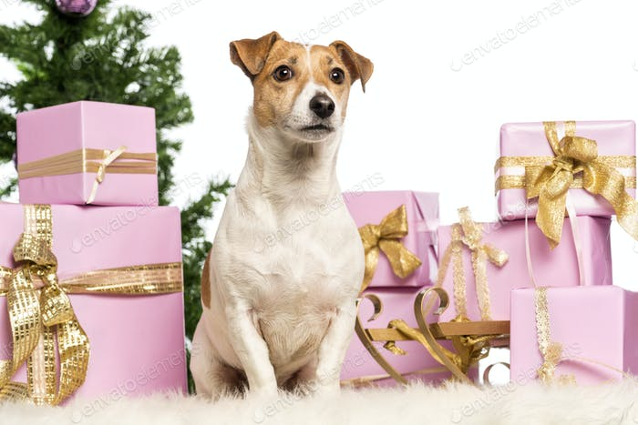 Jack Russell Terrier sitting in front of Christmas decorations against white background
