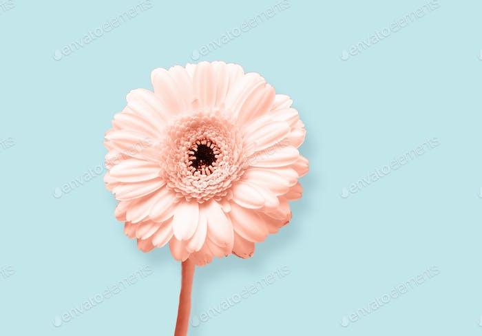 gerbera flower on blue background