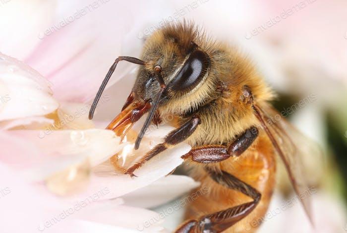 Bee feeding in light pink flower