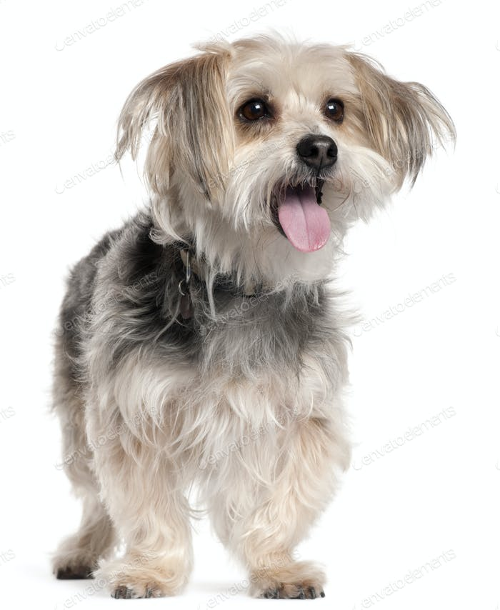 Yorkshire Terrier, 8 years old, standing in front of white background