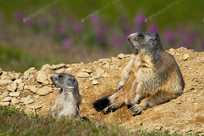 Two alpine marmots sitting near burrow and observing
