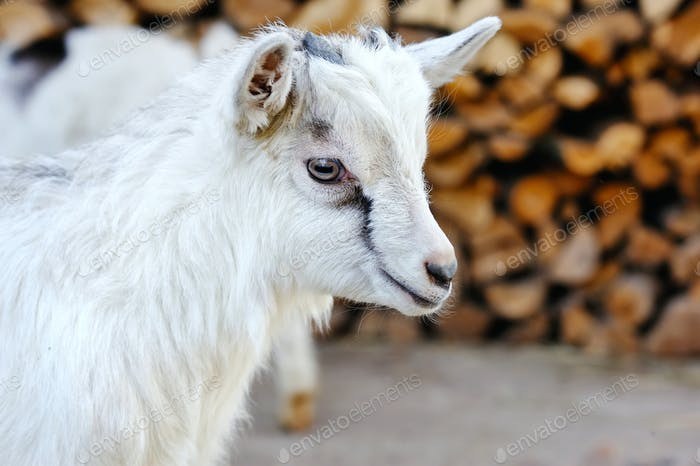 A baby goat standing on the farm yard
