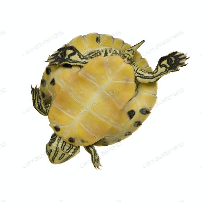 Turtle - trachemys