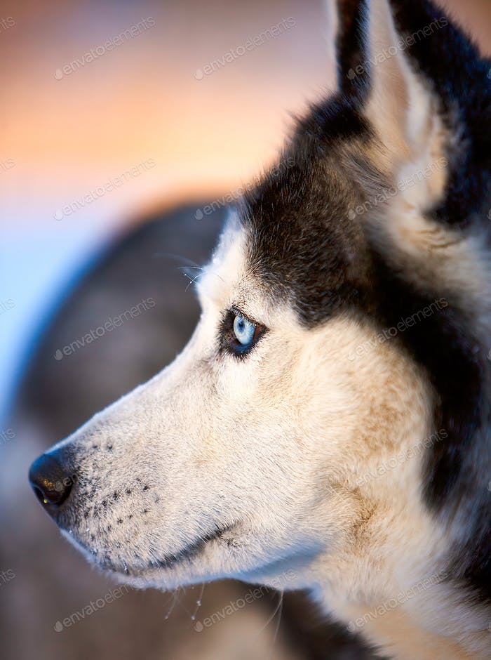 Porträt des sibirischen Husky