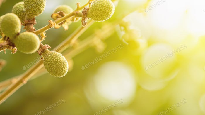 Green longan in summer