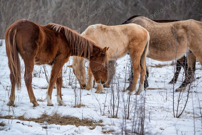 Herd of horses grazing in winter