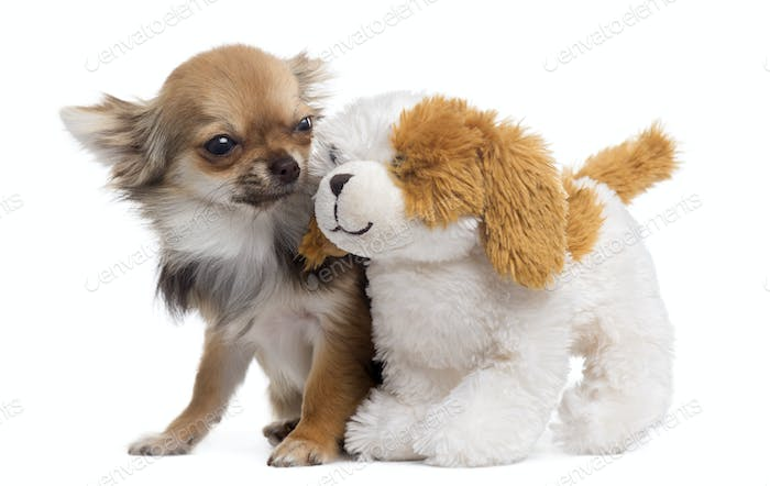 Chihuahua with teddy bear, isolated on white